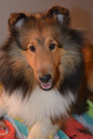 finished trimming sheltie ears