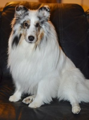 color headed white sheltie