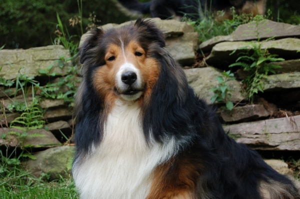 mahogany sable sheltie color