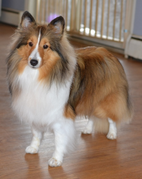 sable sheltie color is one we all know and love. Black Bedroom Furniture Sets. Home Design Ideas