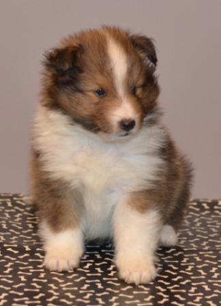 3 to 5 week old sheltie puppy